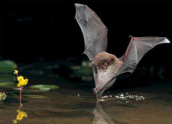 bat swooping down onto water
