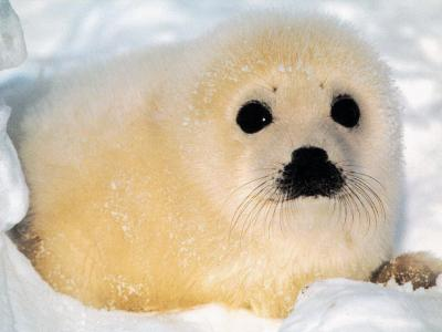 Creatures for Sale Baby_seal_1024.thumbnail