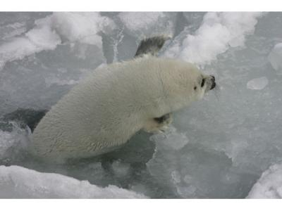 seal trying to get onto ice